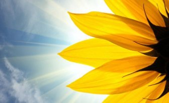 sunflower-closeup-480x294